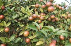 为什么别人家的油茶能高产,茶油苗木用怎么培育的?插图