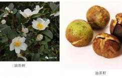 山茶油、茶叶籽油、茶树油三者有什么区别插图