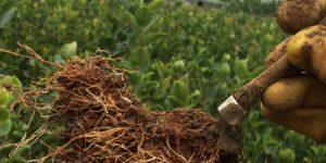 「山茶油」提高油茶苗成活率的六种方法插图
