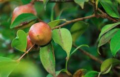 秋季巧用有机山茶油美体护肤!插图