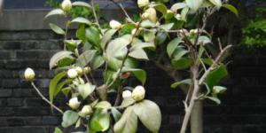 「茶油」山茶树的种植 山茶树几年才会结果?插图