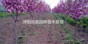 供应/美人梅、黄金槐、红叶小檗、插图