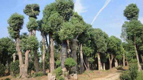 武汉香樟树苗包种插图(1)