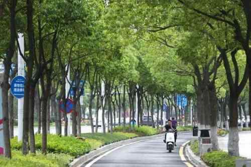 武汉香樟树苗包种插图