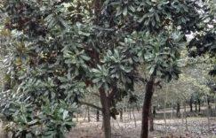 供应各种规格广玉兰苗木插图
