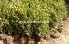 江苏大量供应优质瓜黄杨冠幅10cm-150cm又名小叶黄杨插图