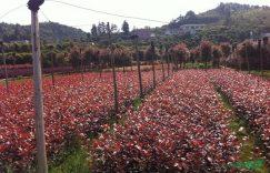 湖南红叶石楠、精品红叶石楠插图