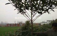 枇杷价格_枇杷图片_枇杷绿化苗木苗圃基地插图