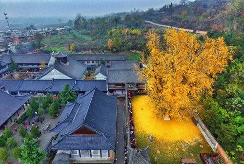 河南项城卖银杏树苗的插图