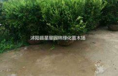 江苏供应优质瓜子黄杨球20cm-150cm量大优惠瓜子黄杨图插图