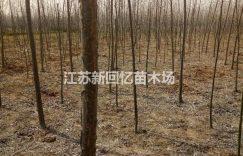 江苏沭阳苗圃出售1-15公分意杨绿化工程苗,量大从优插图