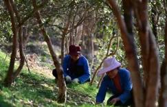 贵州从江:油茶丰收助增收插图