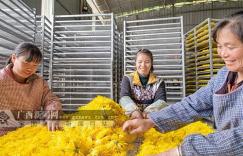 环江:油茶林下套种菊花 扶贫园里务工增收插图