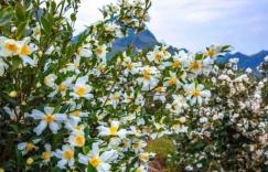 怎么解决油茶树花开的多,结果少的问题?插图